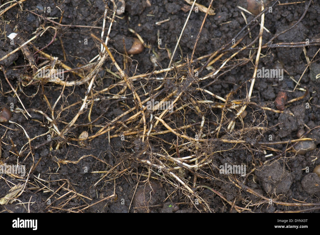 Couch rhizomes, Agropyron repens, dug up from an established vegetable garden - Stock Image