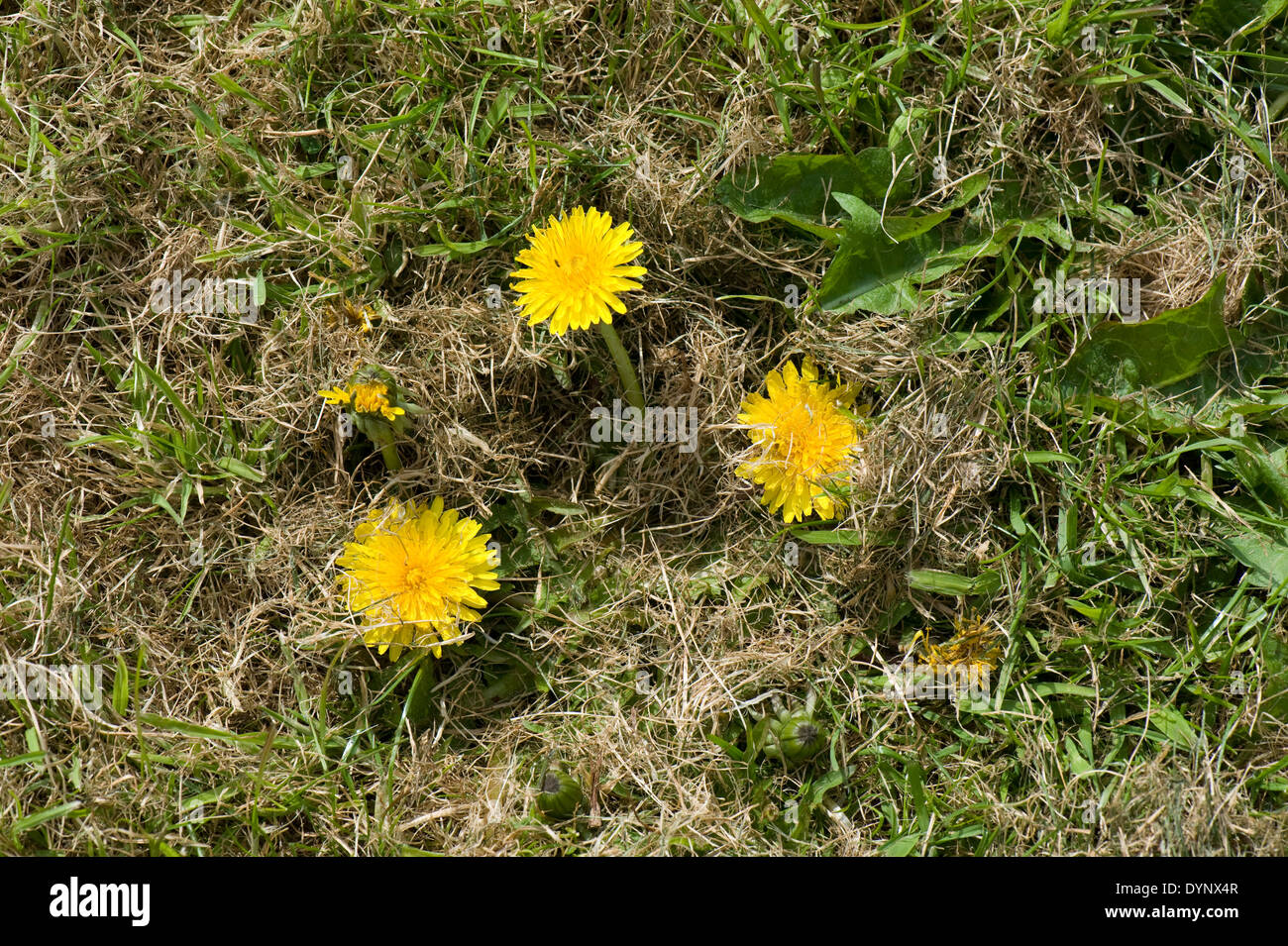 A dandelion, Taraxacum officinale, stuted by mowing flowering rapidly in newly mown grass - Stock Image