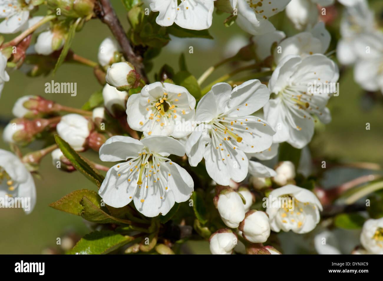 White Cherry Blossom On A Flowering Fruit Tree Prunus Avium In