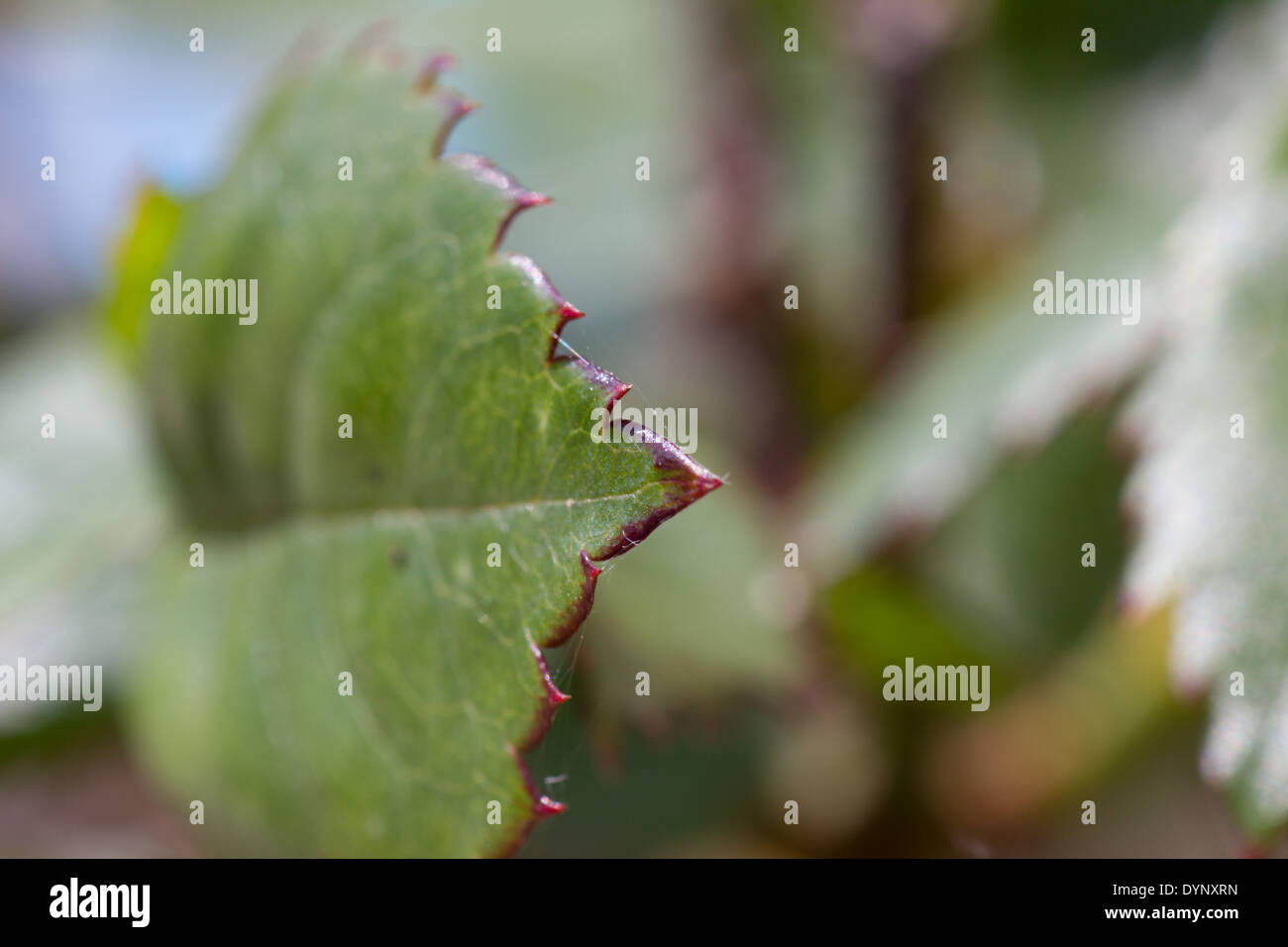 Side view of serrated green and red rose leaf - Stock Image