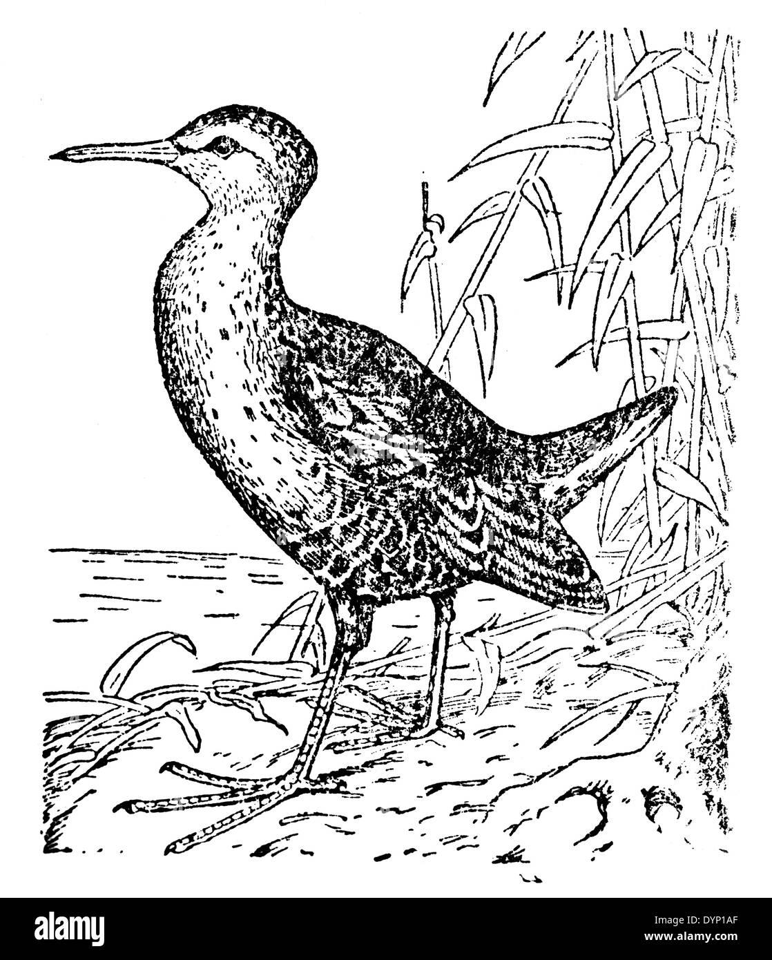 Water Rail (Rallus aquaticus), illustration from Soviet encyclopedia, 1928 - Stock Image