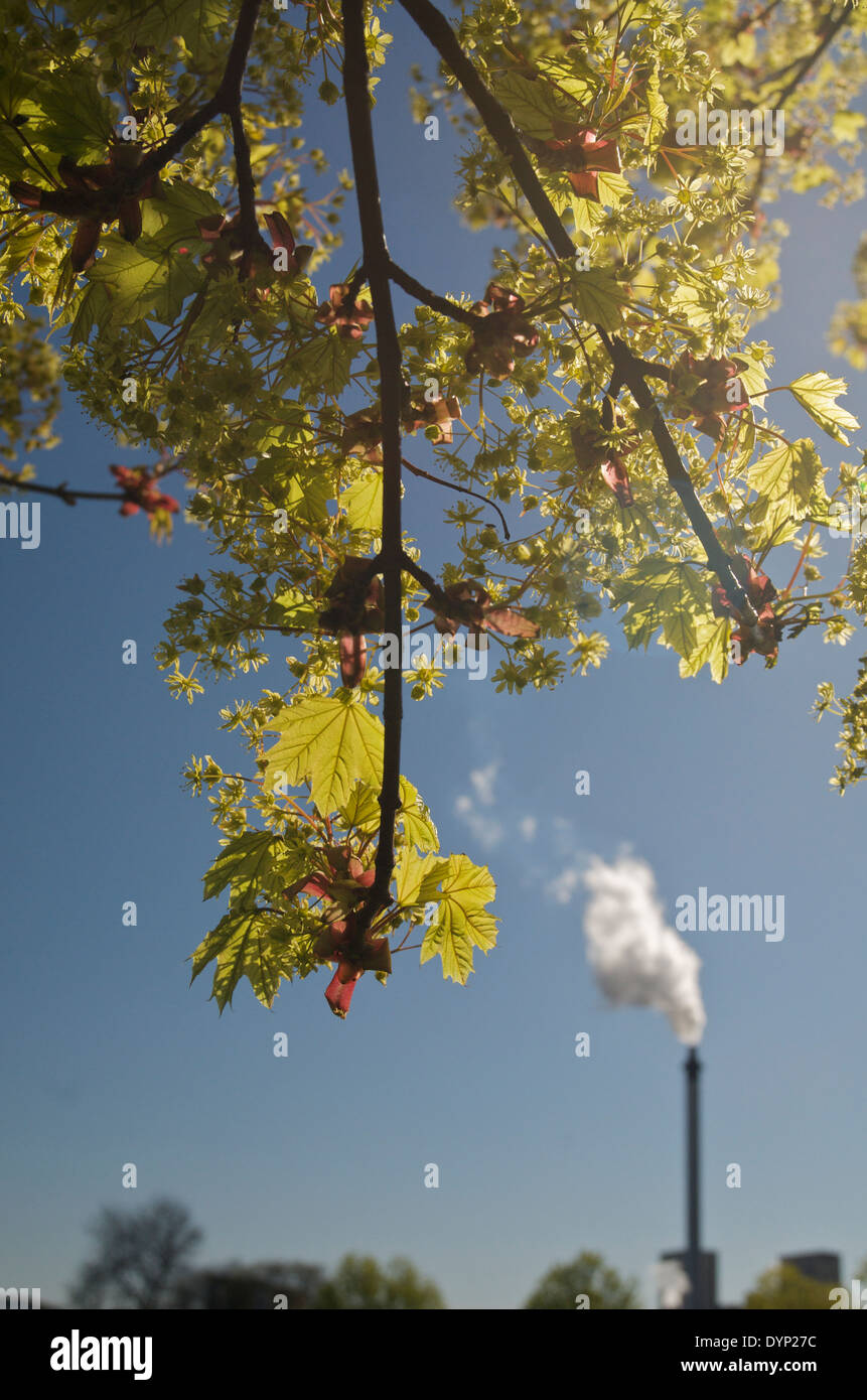 Leaves and buds emerging on tree in spring with grain whisky distillery chimney belching steam in the background - Stock Image