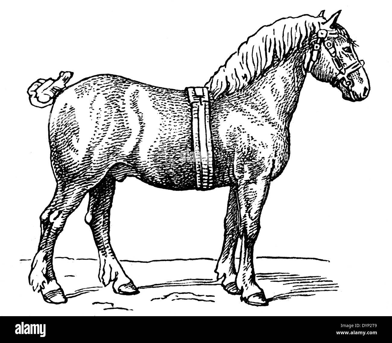 Ardennes horse, illustration from Soviet encyclopedia, 1926 - Stock Image
