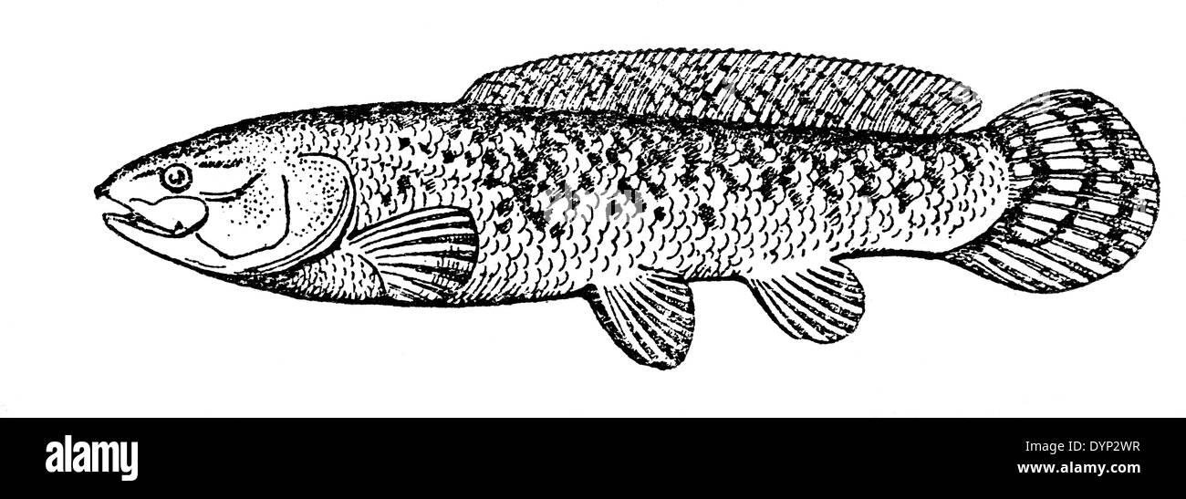 Bowfin (Amia calva), illustration from Soviet encyclopedia, 1926 - Stock Image