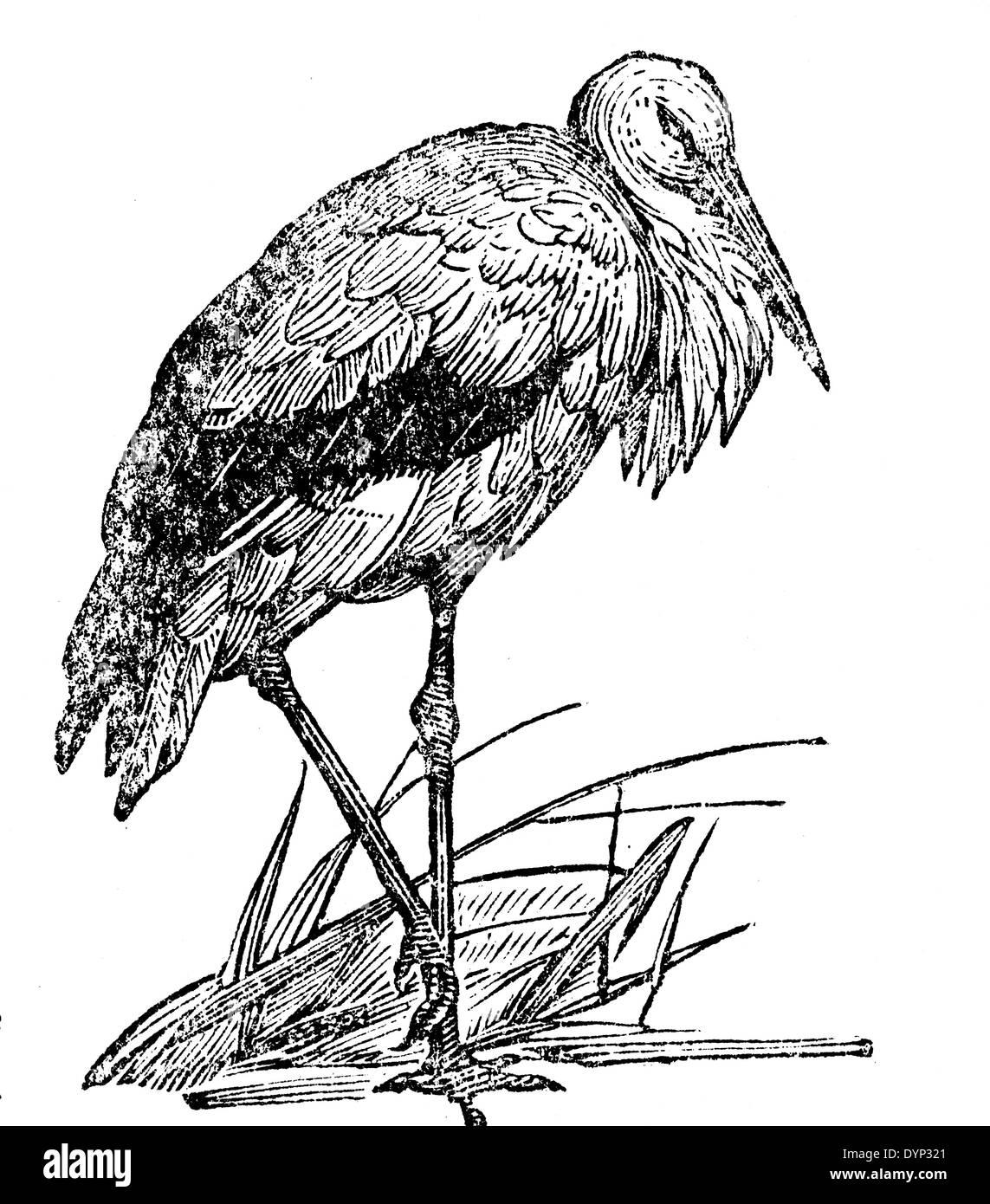 White Stork (Ciconia ciconia), illustration from Soviet encyclopedia, 1926 - Stock Image