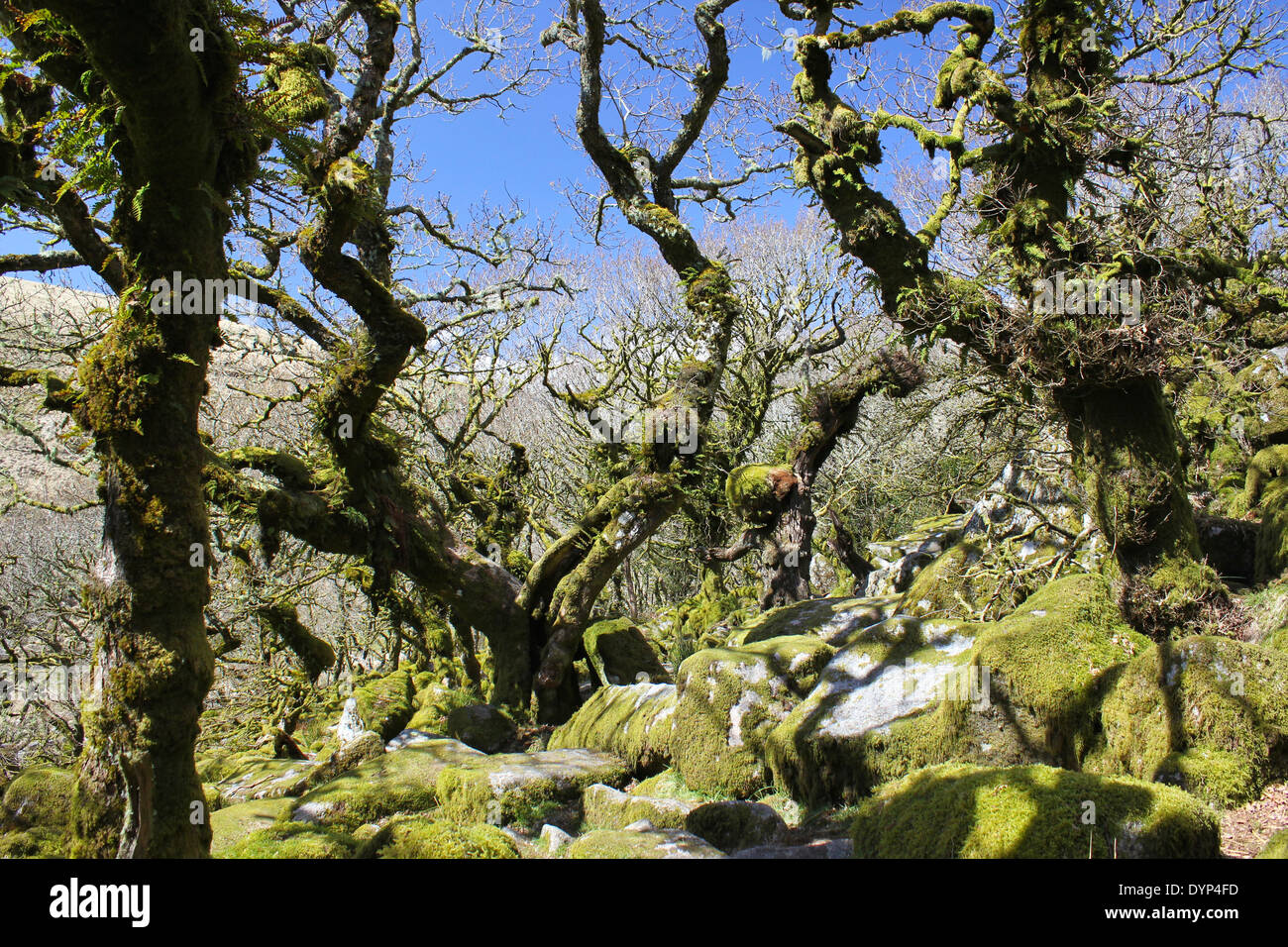 Moss and ancient oaks in Wistman's Wood on Dartmoor in Devon Stock Photo