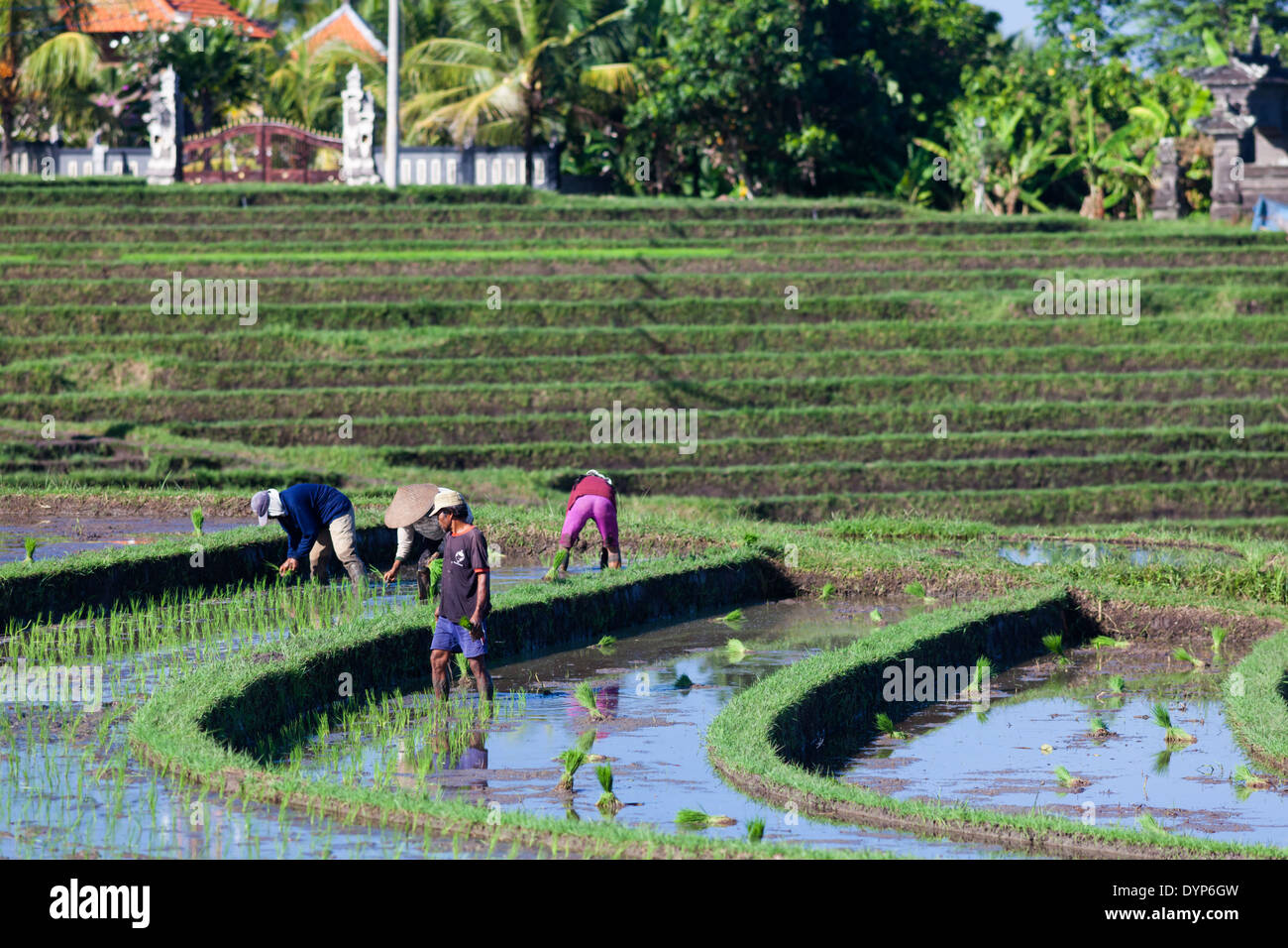 People working on rice fields in region of Antosari and Belimbing (probably closer to Antosari), Bali, Indonesia - Stock Image