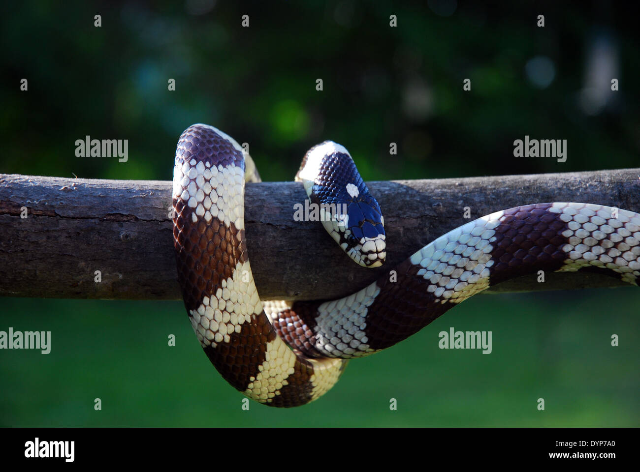 Black & white California King Snake hanging vertically on stick outdoors with green background. - Stock Image