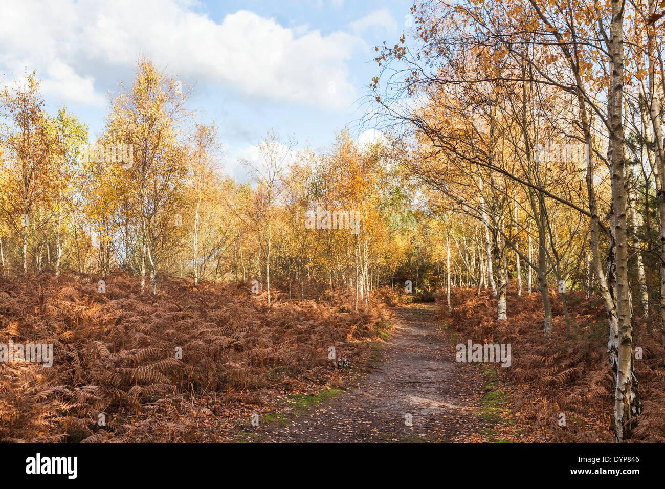Woodland path through silver birch trees in bright autumn colours with brown bracken at Frensham Pond, Surrey, UK Stock Photo
