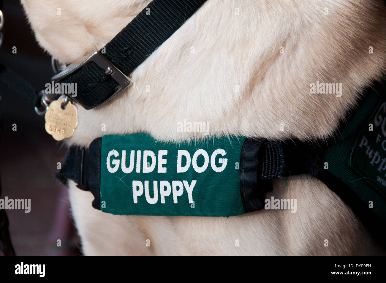 Guide dog puppy harness - Stock Image