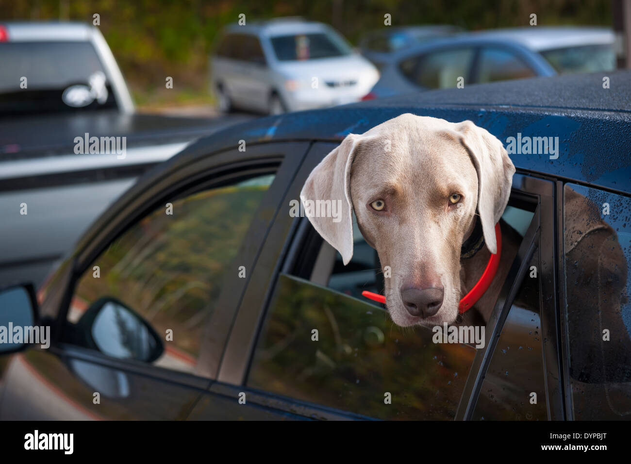 One weimaraner dog looking out of car window in parking lot - Stock Image