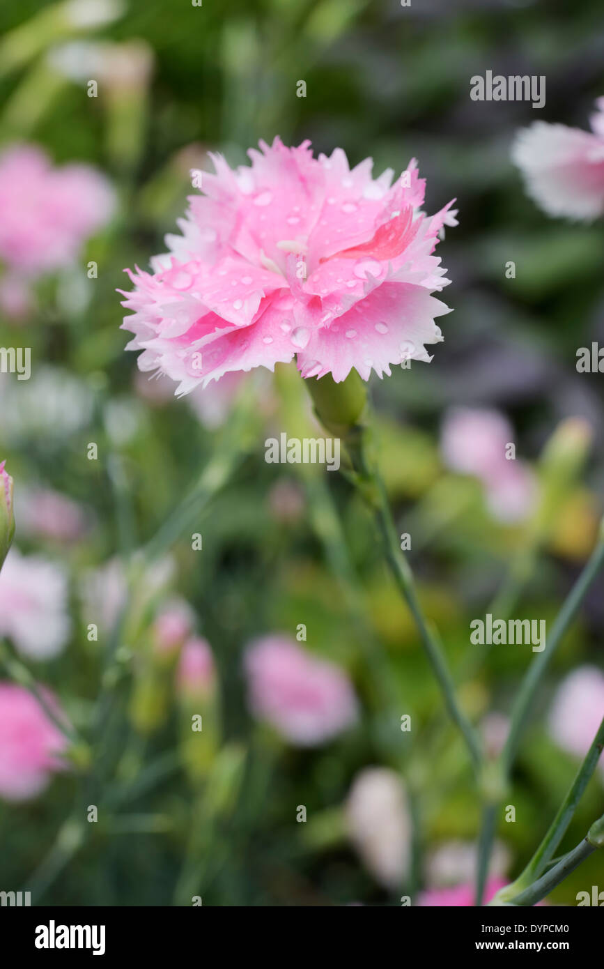 Dianthus Caryophyllus Clove Pink Flowers Wales Uk Stock Photo