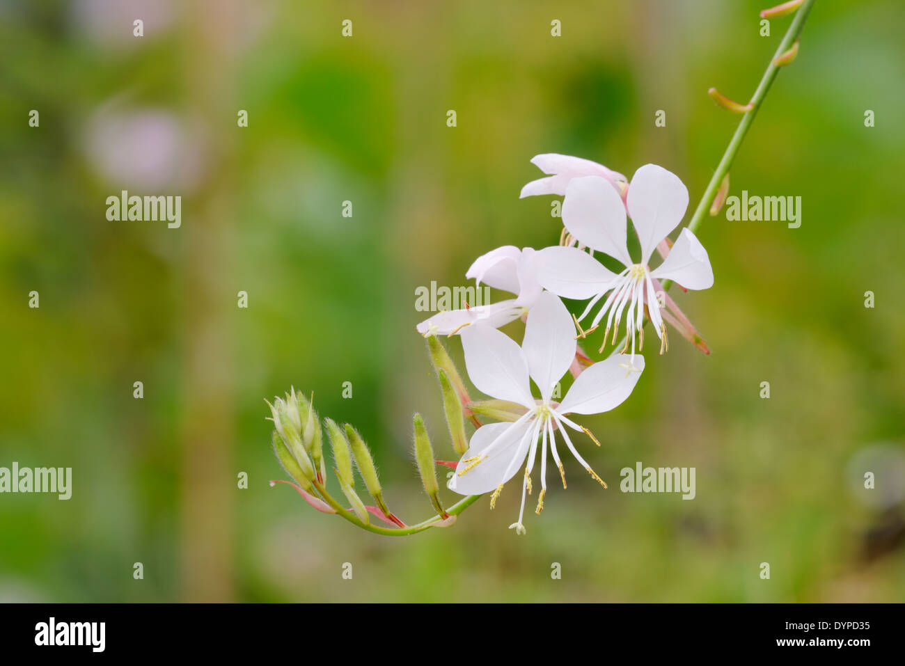 Gaura lindheimeri 'The Bride', Wales, UK. - Stock Image