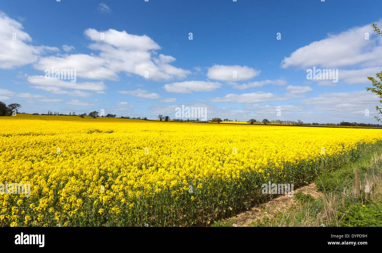 The Intense Yellow Flowers Of A Rapeseed Field Against The Blue Sky