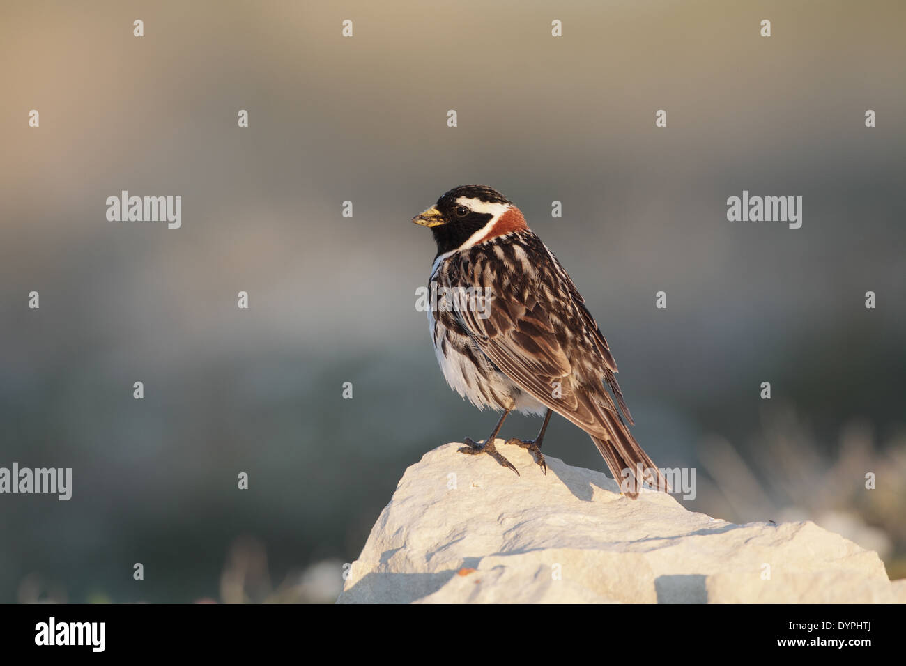 Lapland Longspur (Bunting), Calcarius lapponicus, male on breeding grounds - Stock Image