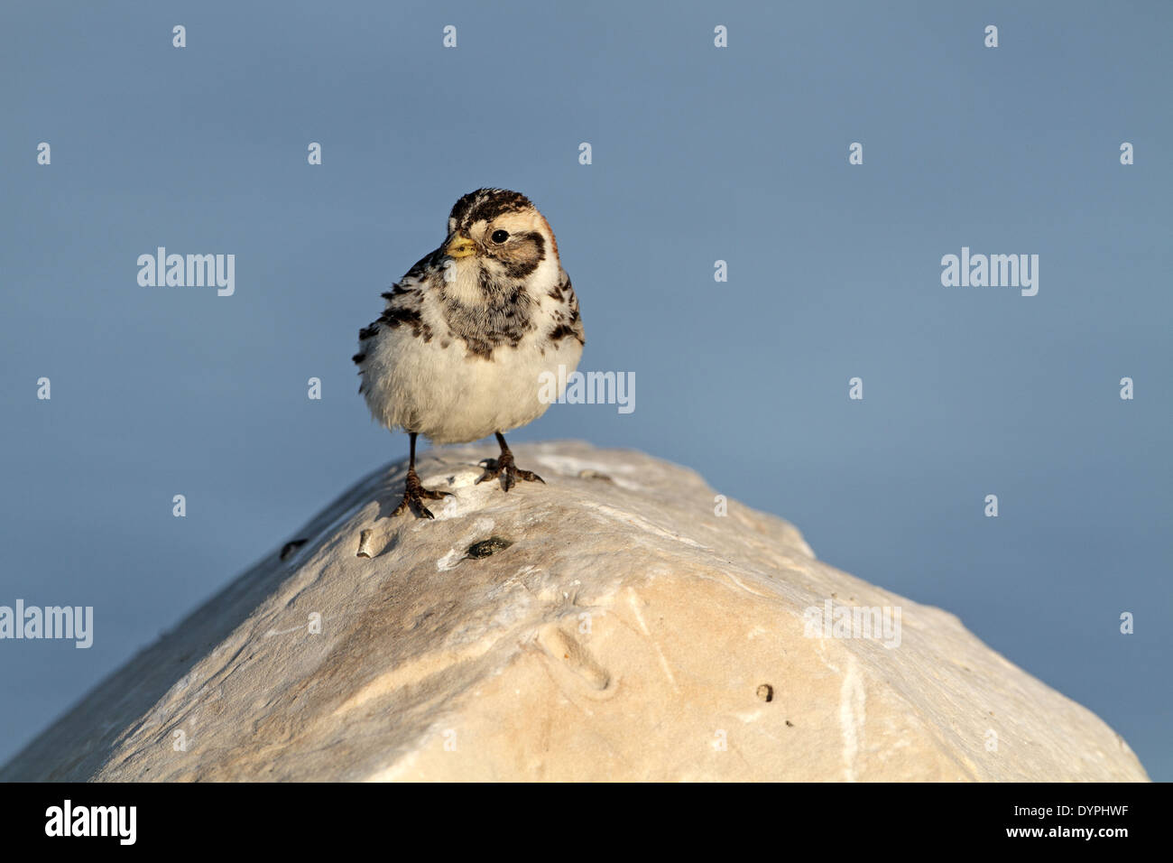 Lapland Longspur (Bunting), Calcarius lapponicus, female on breeding grounds - Stock Image