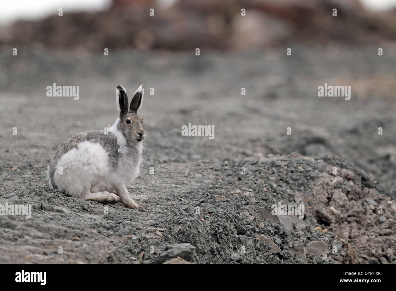 Arctic Hare, Lepus arcticus, in mainly white pelage - Stock Image