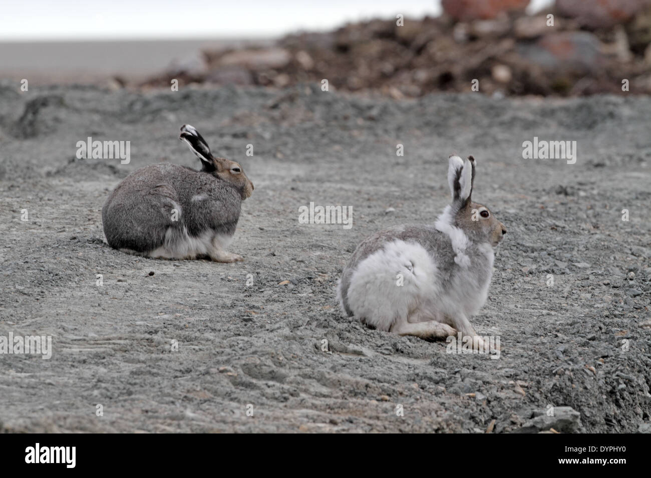 Two Arctic Hares, Lepus arcticus, one in mainly white pelage, one mainly dark - Stock Image
