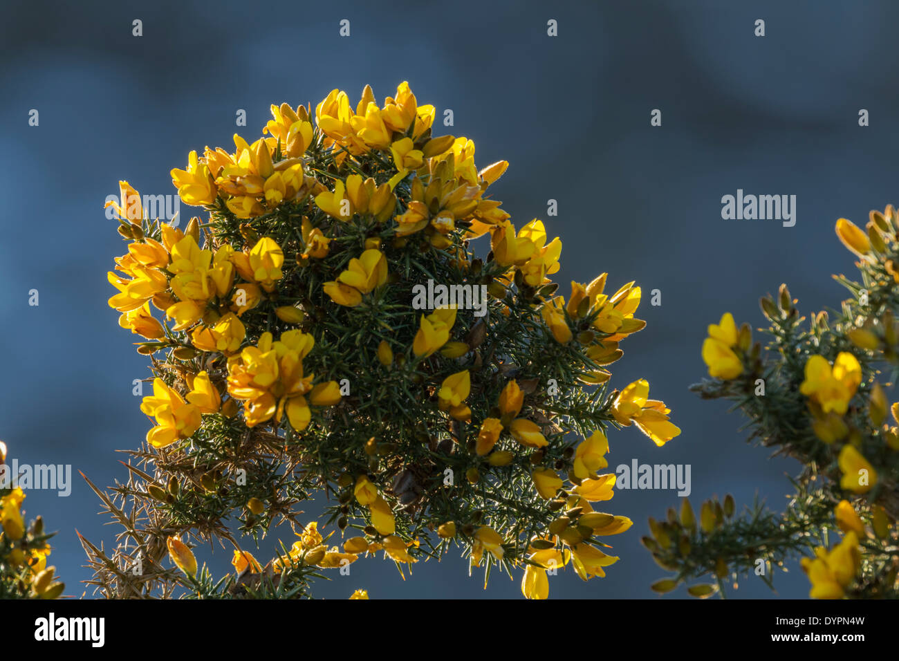 Gorse Latin Name Ulex Europaeus Stock Photos Gorse Latin Name Ulex