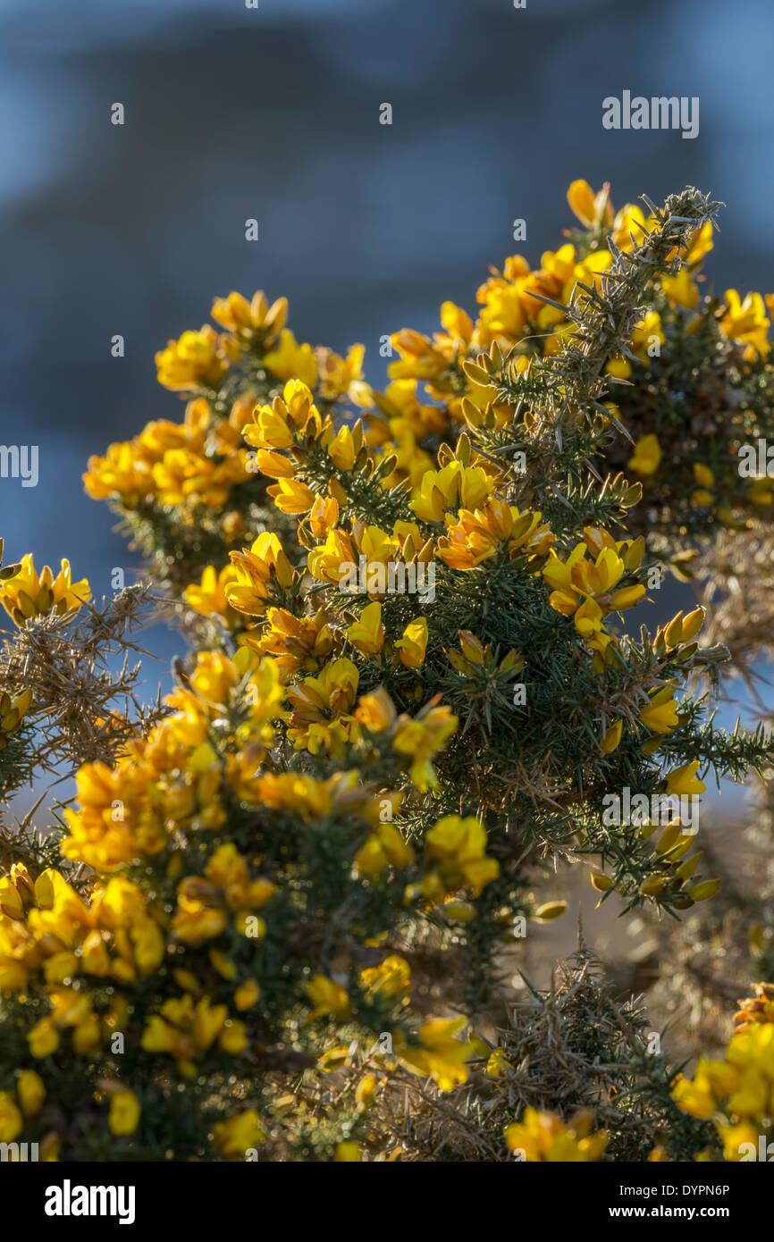 Gorse Latin Name Ulex Europaeus Shrub Showing Bright Yellow