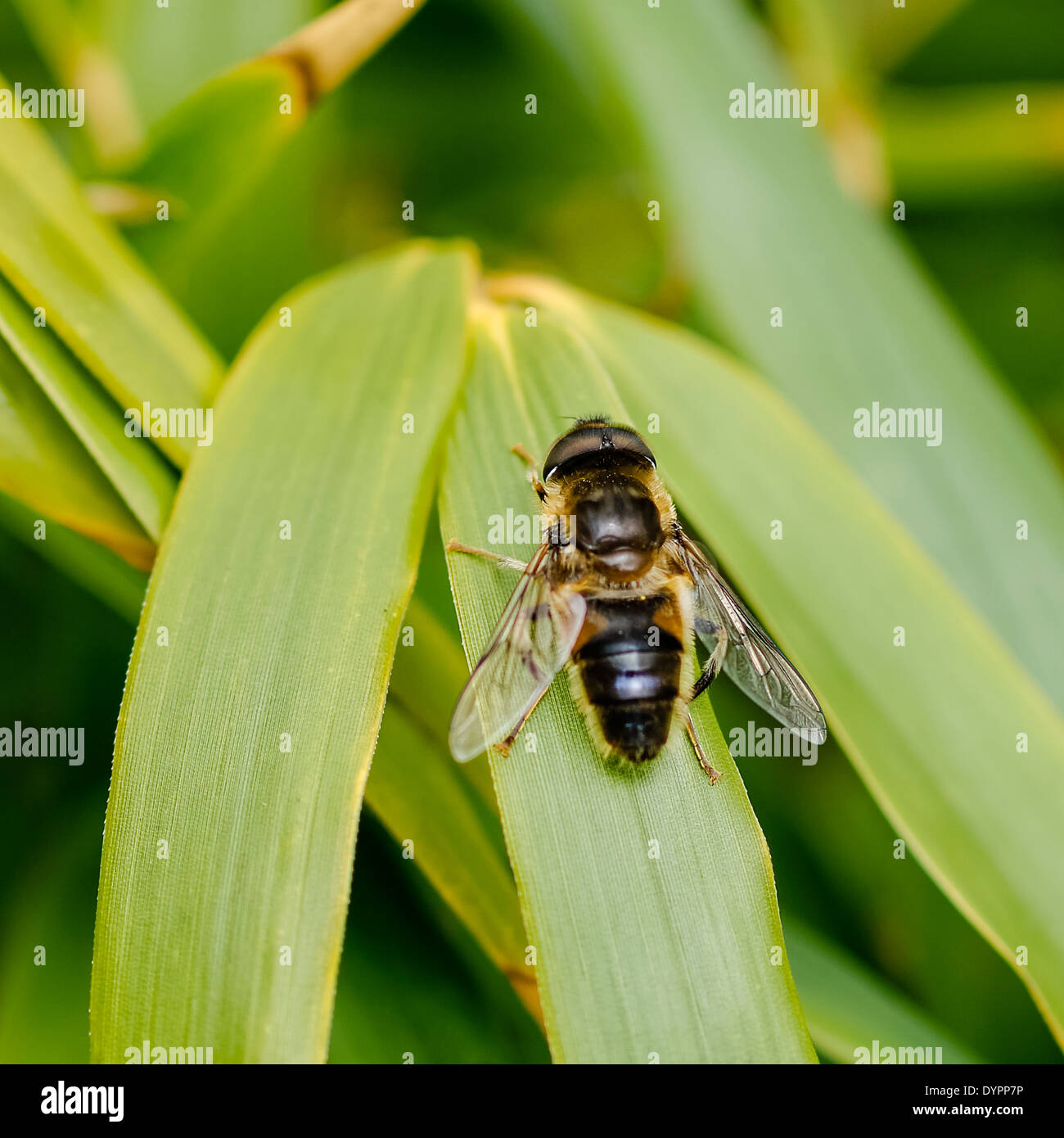 Hover Fly at rest on bamboo leaf, facing upward; square format Stock Photo