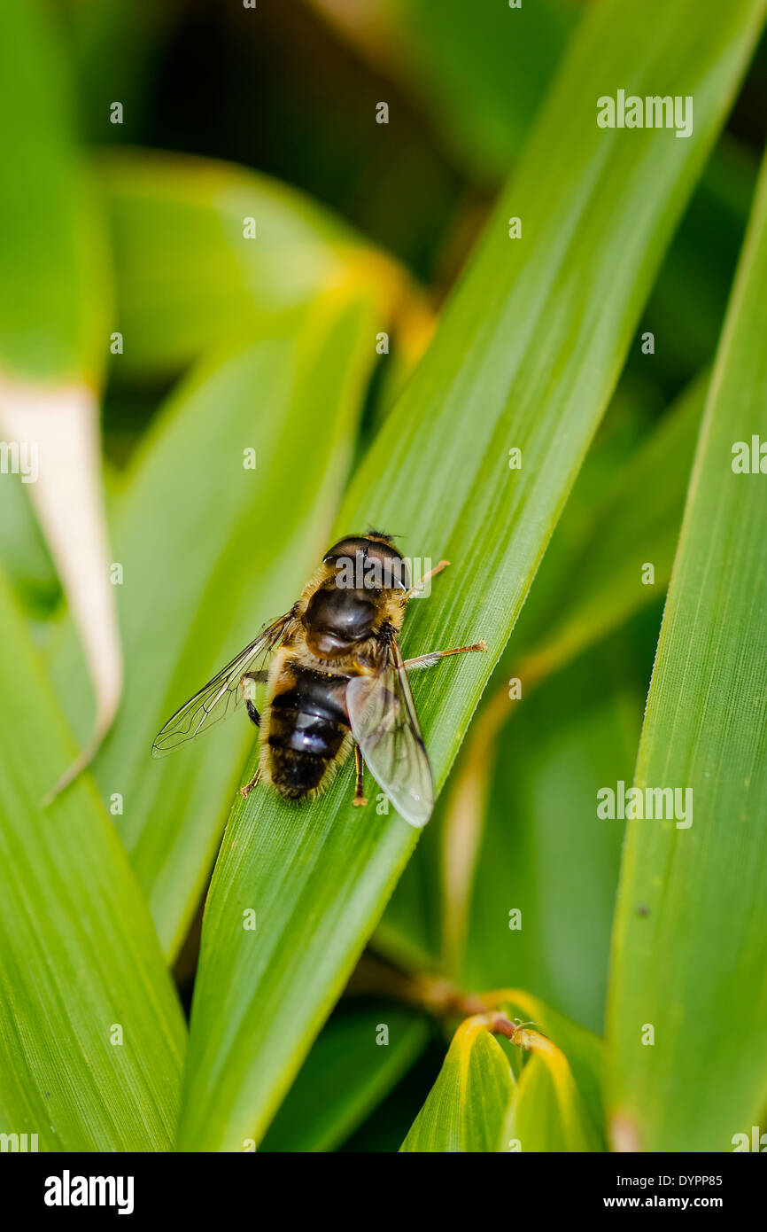 Hover Fly at rest on bamboo leaf, facing up right; portrait format Stock Photo