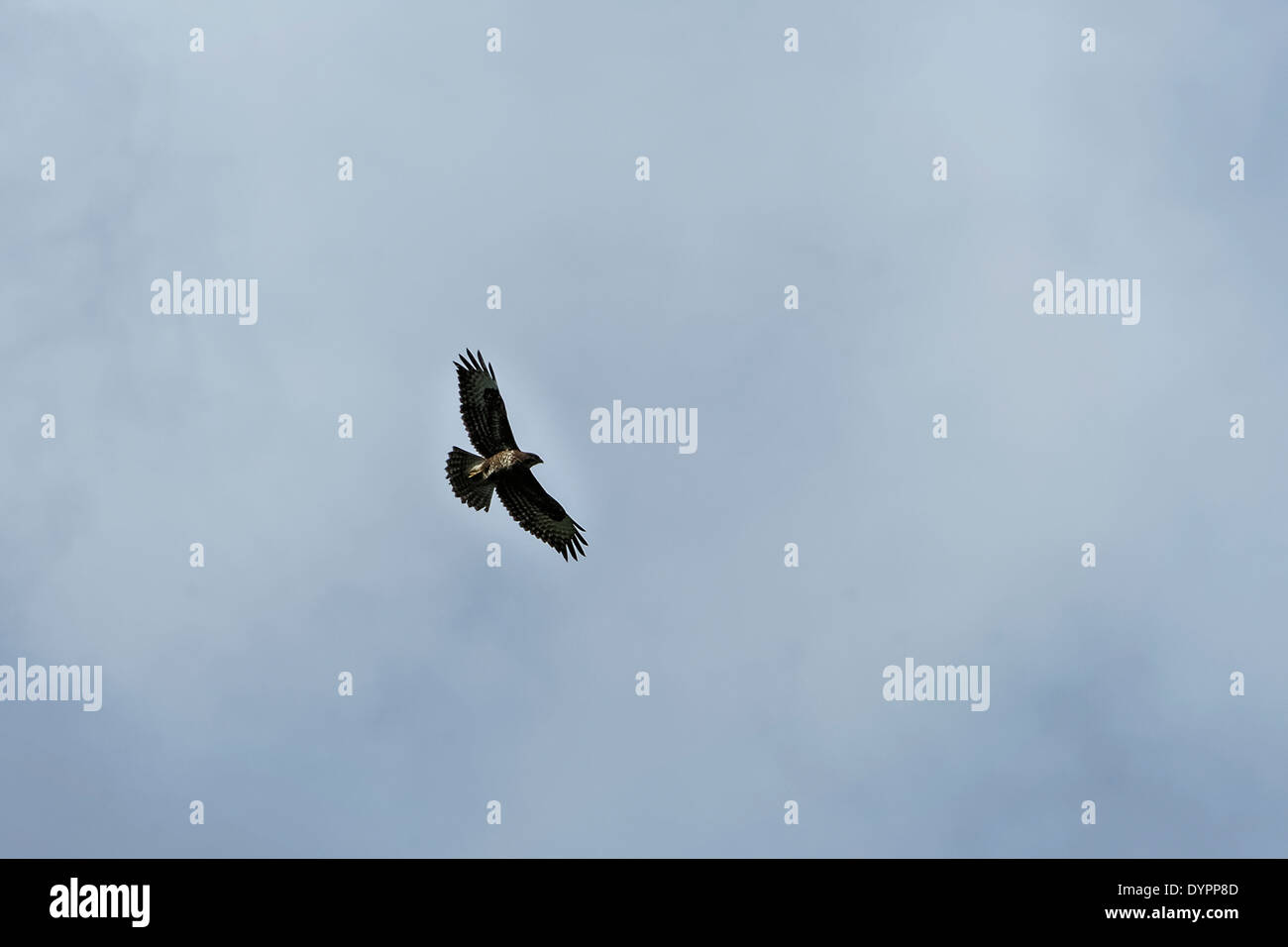 SIngle buzzard gliding with outstretched wings, almost silhouetted against blue-grey clouds, from below; landscape format. - Stock Image