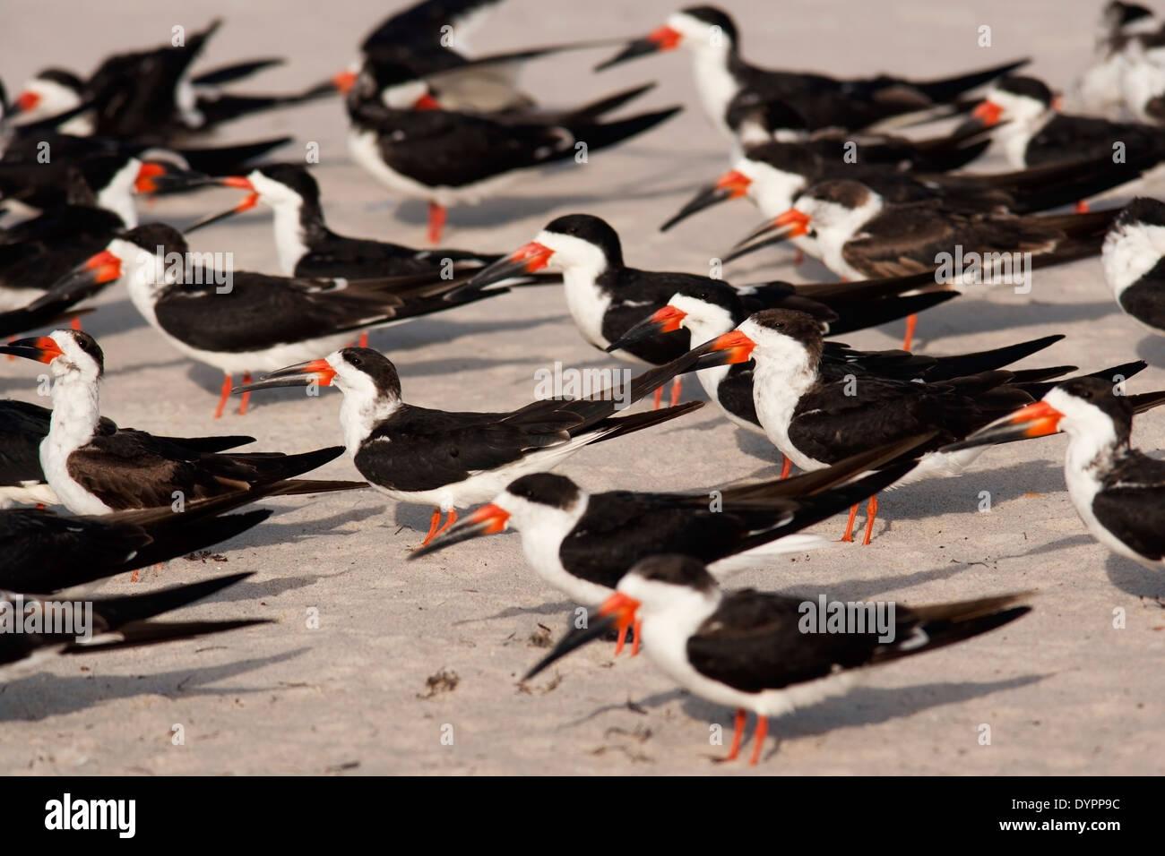 Black Skimmers - Pompano Beach, Florida USA - Stock Image