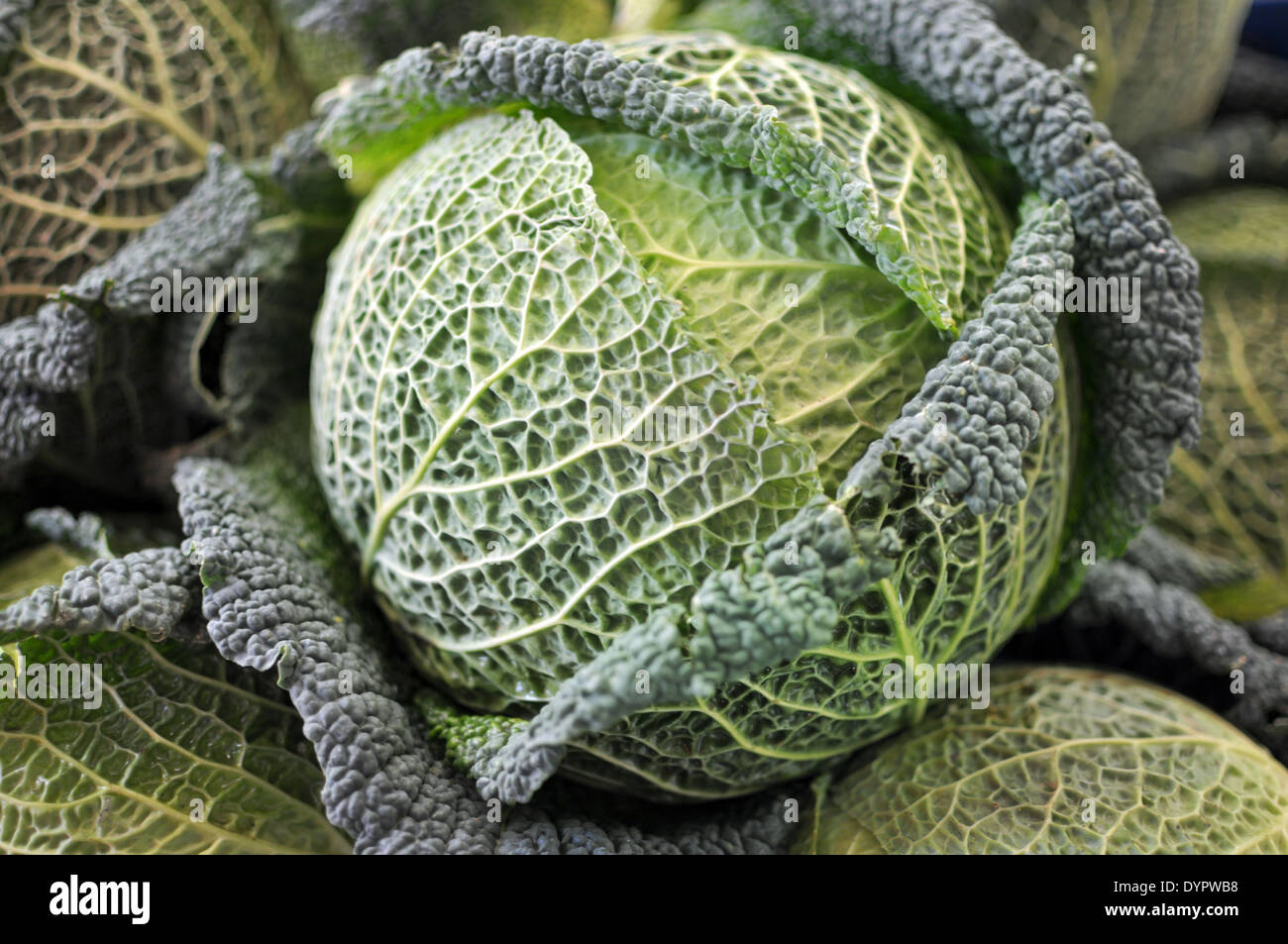 Green leaves of a fresh raw savoy cabbage close up - Stock Image