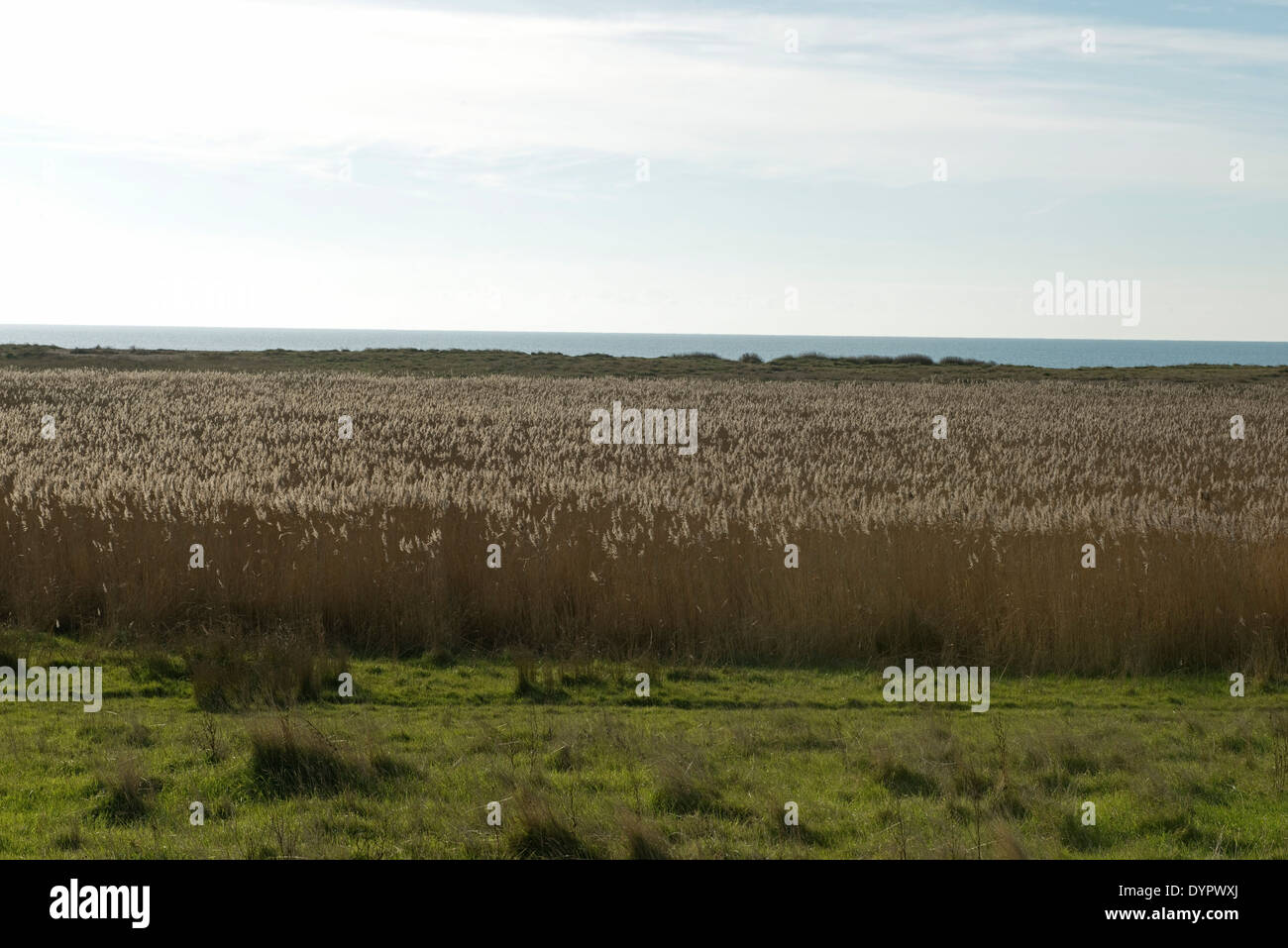 Common reed, Phragmites communis, beds in winter a refuge for wildlife behing Chesil Beach in Dorset - Stock Image