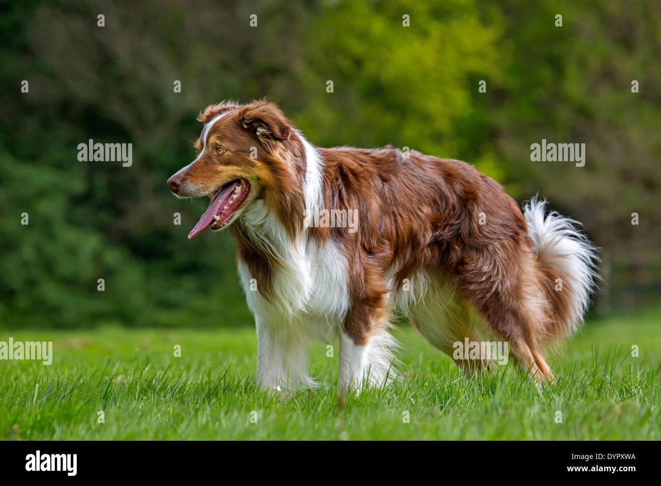Border collie (Canis lupus familiaris) panting in garden - Stock Image