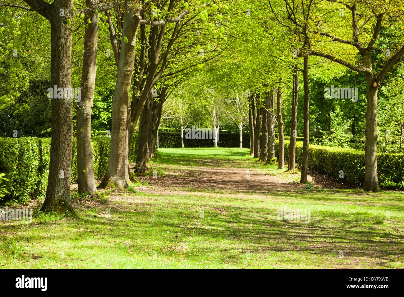 An avenue of lime trees forms the Nave within Whipsnade Tree Cathedral; Silver Birch form the chancel, Bedfordshire, England - Stock Image