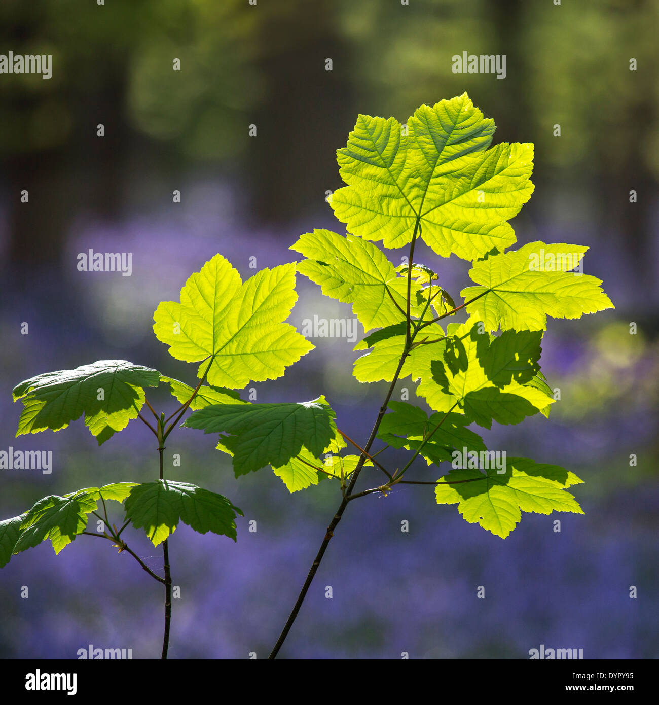 Sycamore maple tree (Acer pseudoplatanus) leaves in forest in spring Stock Photo