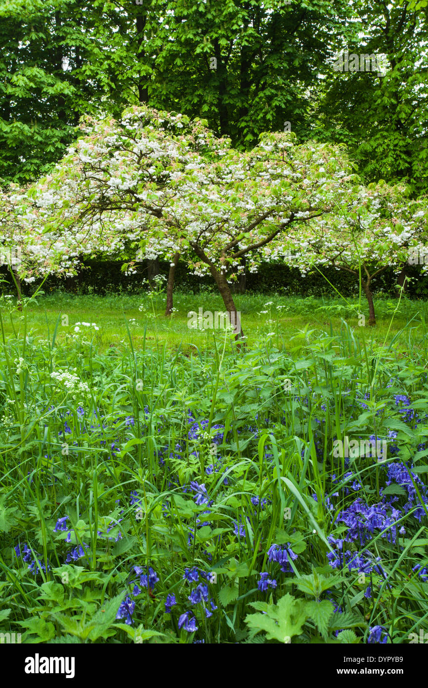 Bluebells and flowering cherry trees in the Easter Chapel of Whipsnade Tree Cathedral, Chilterns, Bedfordshire, England - Stock Image