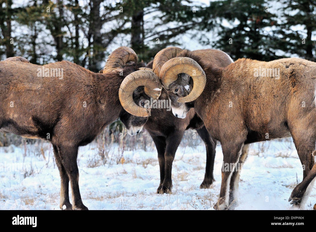 A group of Bighorn Sheep challenging each other in a head butting contest - Stock Image