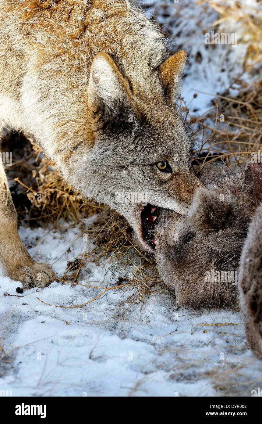 A wild coyote pulling on a baby bighorn sheep that he has just killed - Stock Image