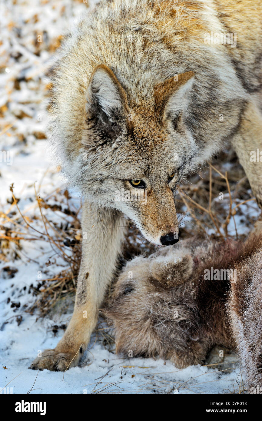 A wild coyote stands over a baby bighorn sheep that he has just killed - Stock Image