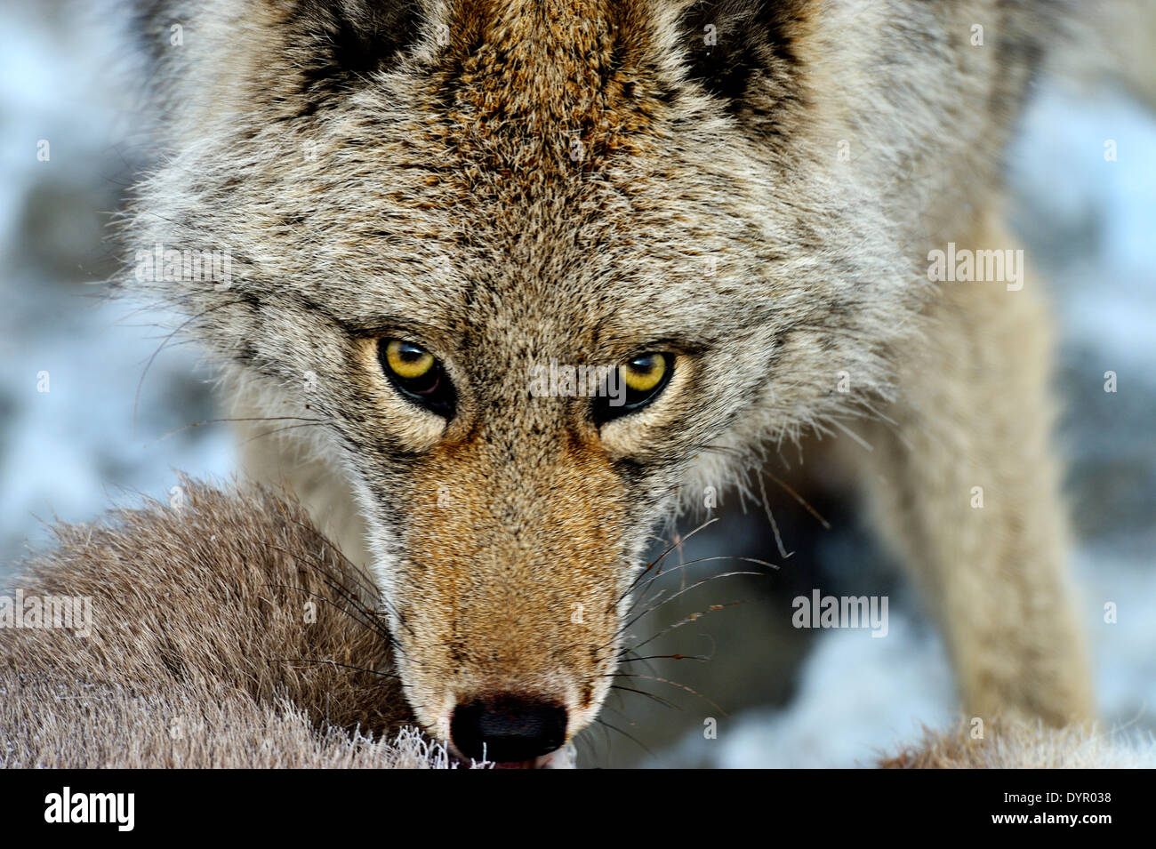 A close up image of a wild coyote looking up from a baby sheep that he has just killed Stock Photo