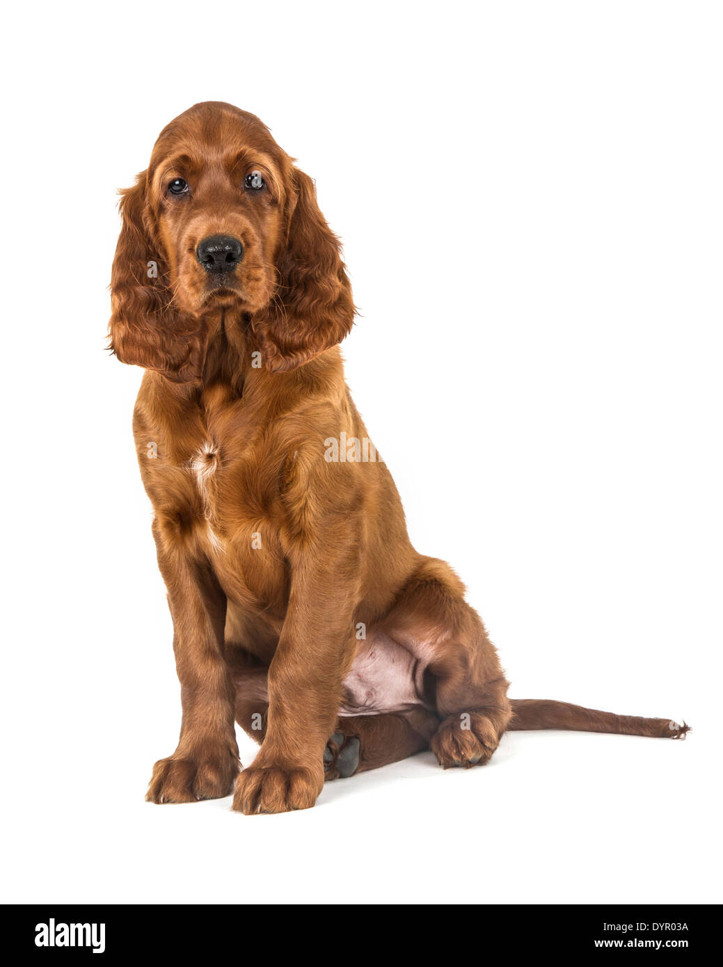 Two month old Irish Setter dog Stock Photo