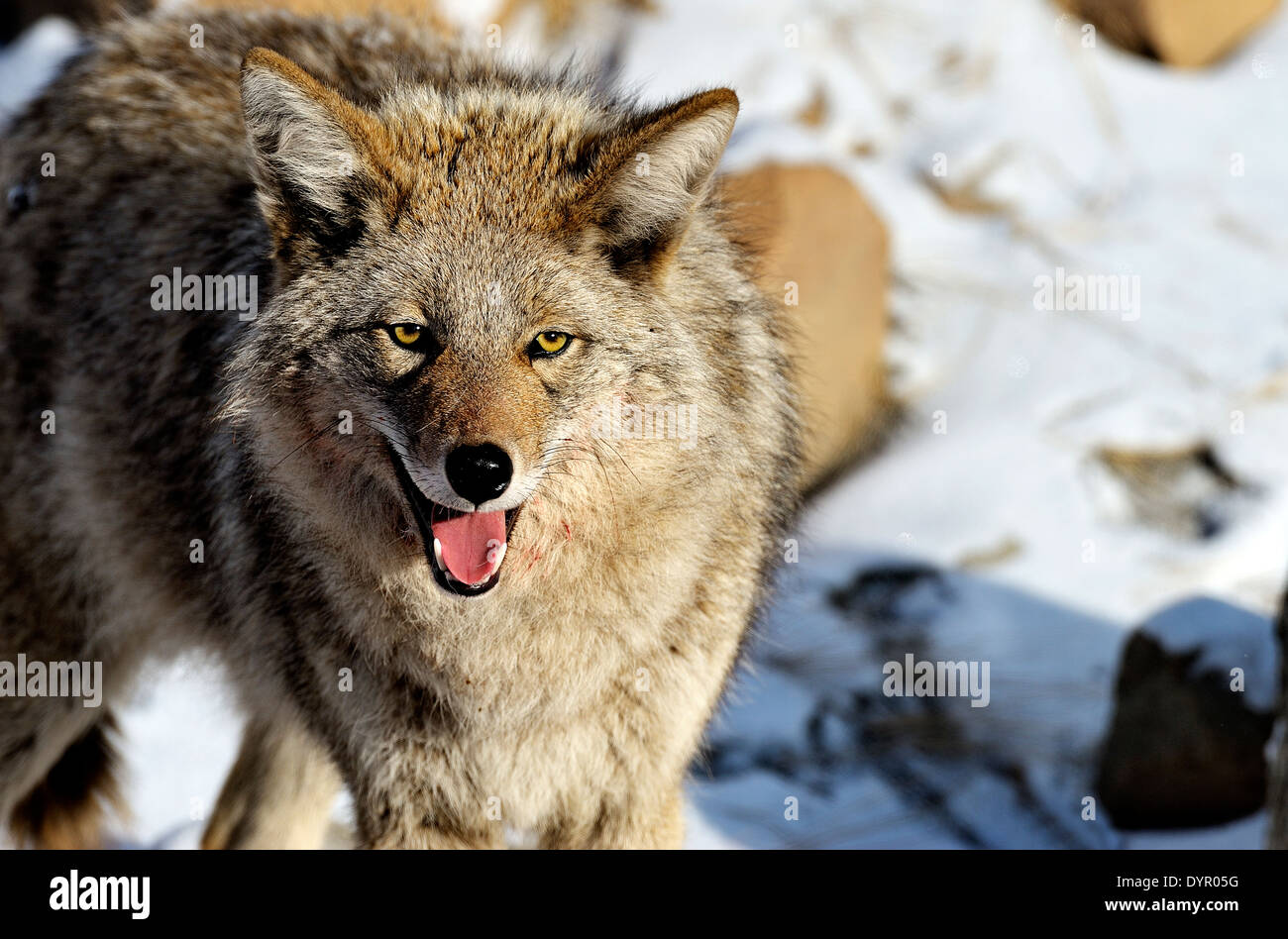 A wild coyote standing looking forward showing his mouth and teeth Stock Photo