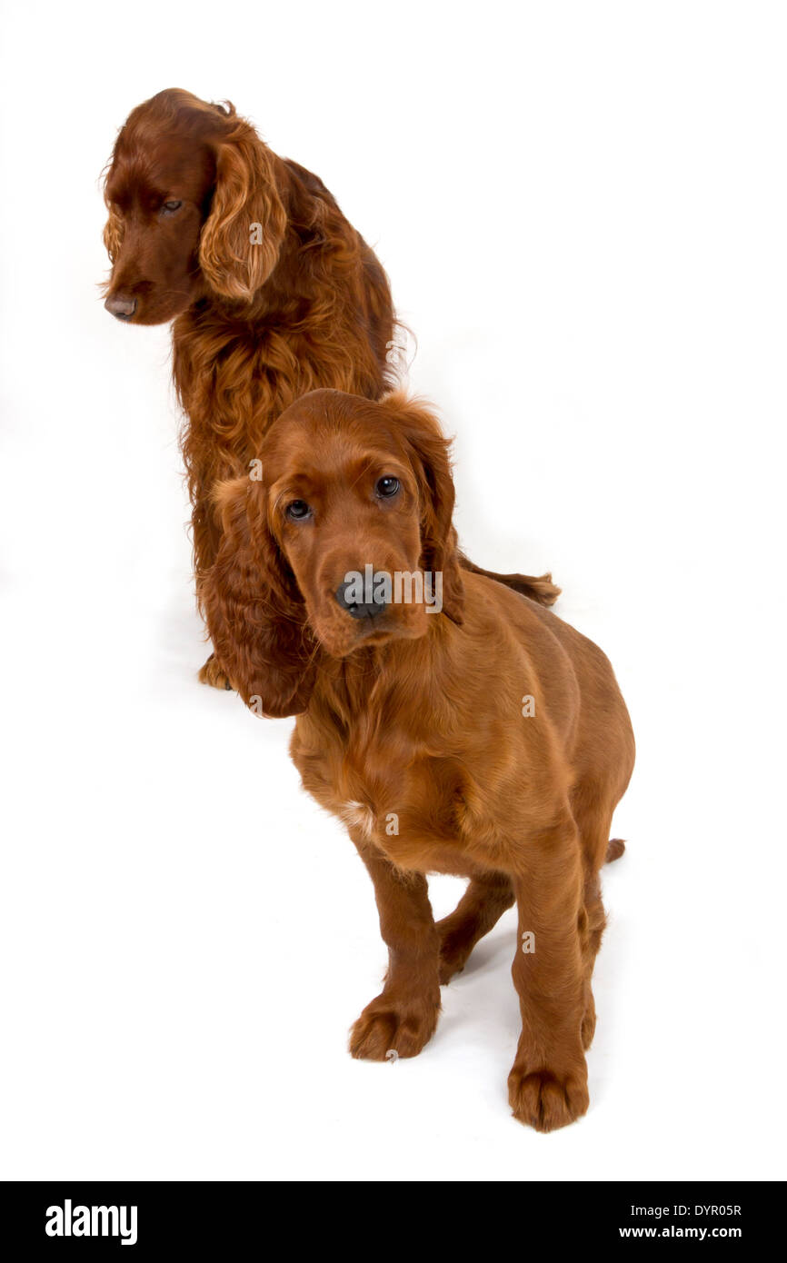 Two month old Irish Setter puppy with adult dog - Stock Image