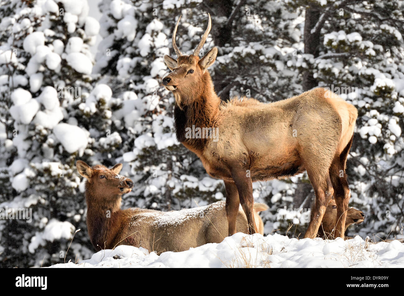 A young bull elk standing being alert as his herd moves along a snow covered trail - Stock Image