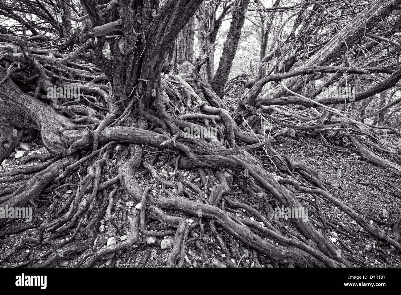 Old twisted tree roots - Stock Image