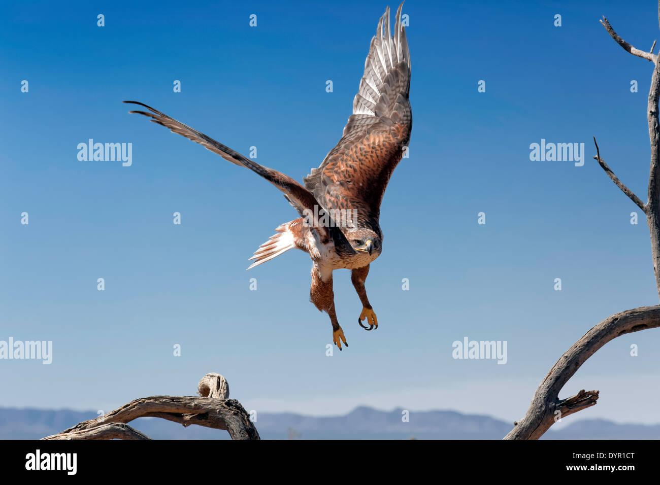 Ferruginous Hawk (Buteo regalis), Arizona - Stock Image