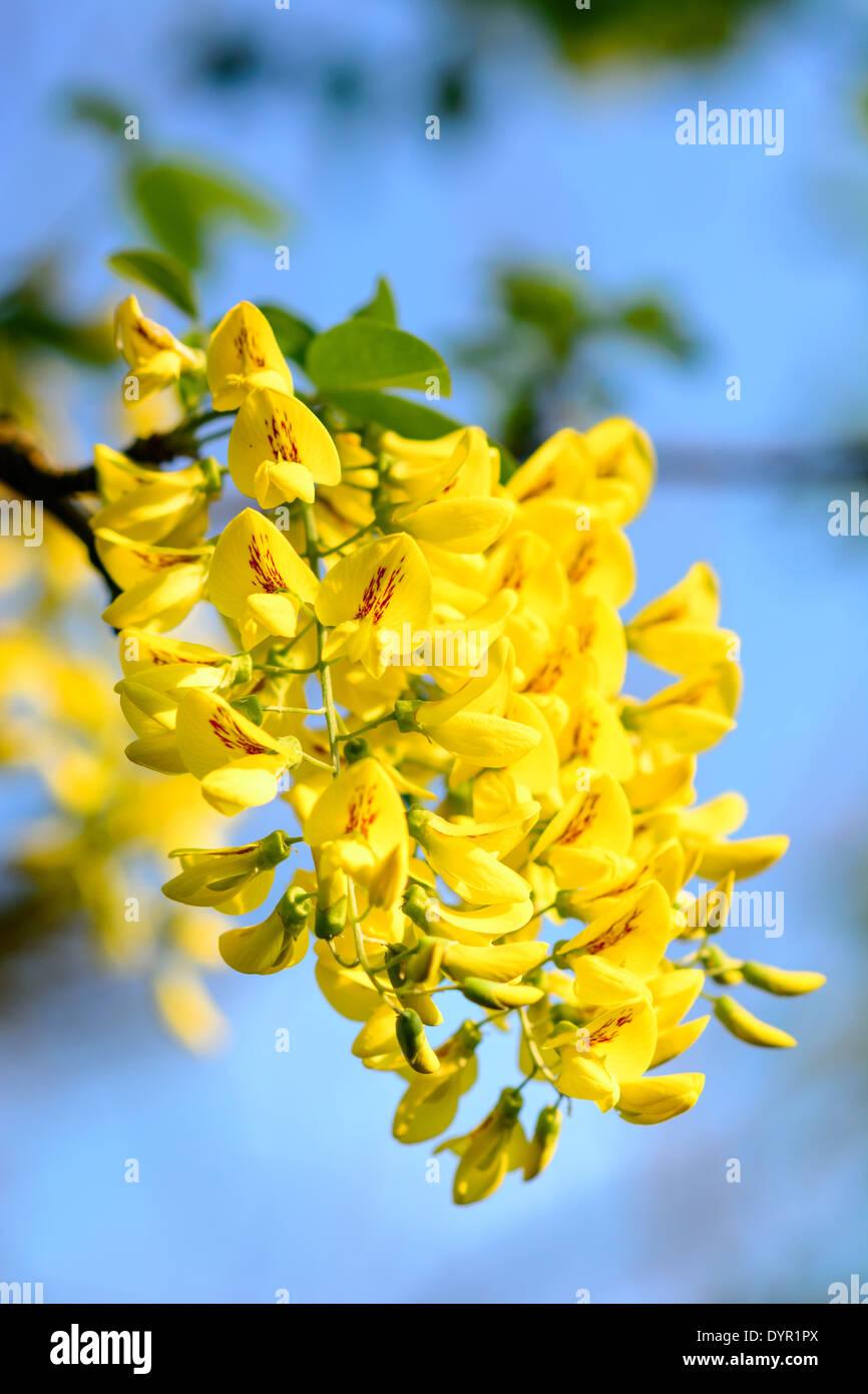 Garden almond - golden rain 8