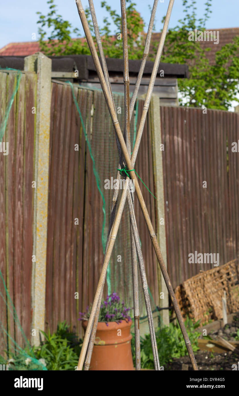 Runner Bean Poles made from bamboo garden canes  tied in a tripod shape - Stock Image