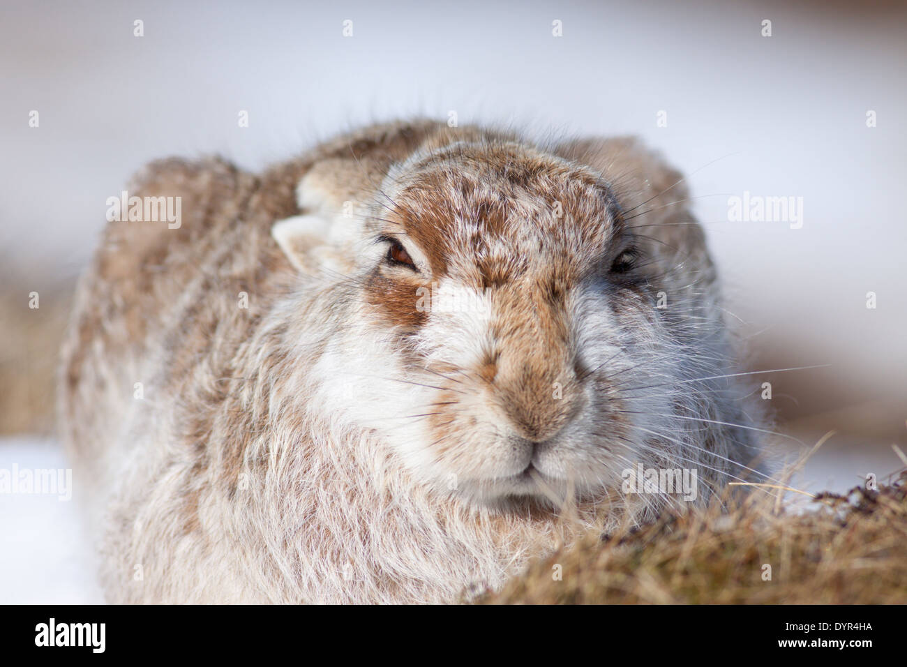 Mountain Hare (Lepus timidus), Highlands, Scotland, UK - Stock Image