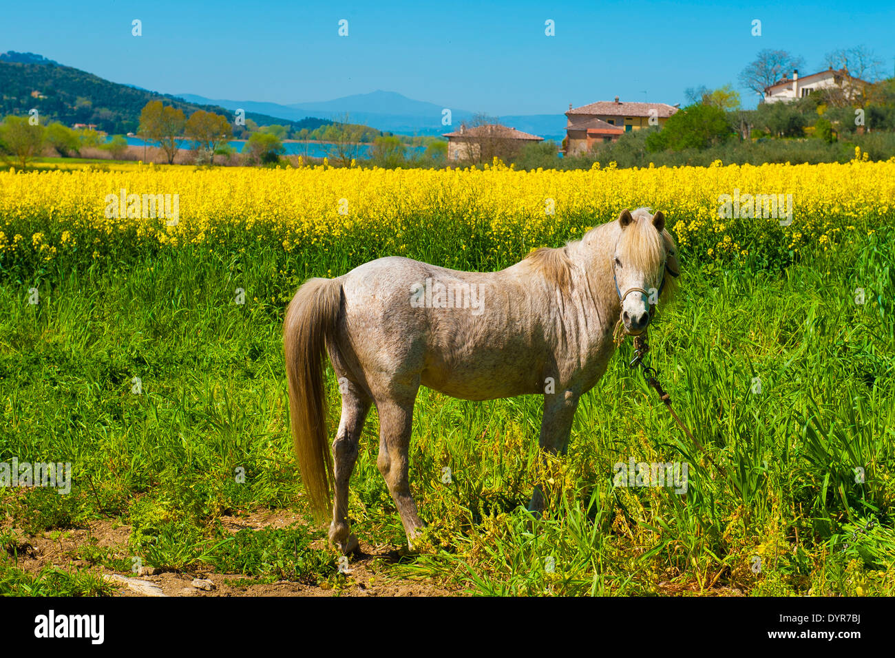 Lake trasimeno umbria a beautiful horse pony behind the beauty of a beautiful horse pony behind the beauty of a field of yellow rapeseed flowers typical flower of spring izmirmasajfo