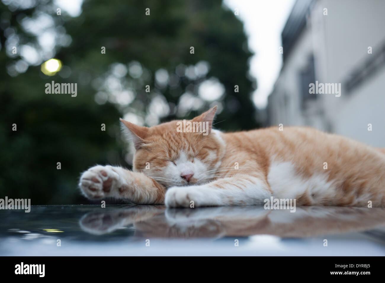 Cat sleeping on a car, Tokyo, Japan - Stock Image