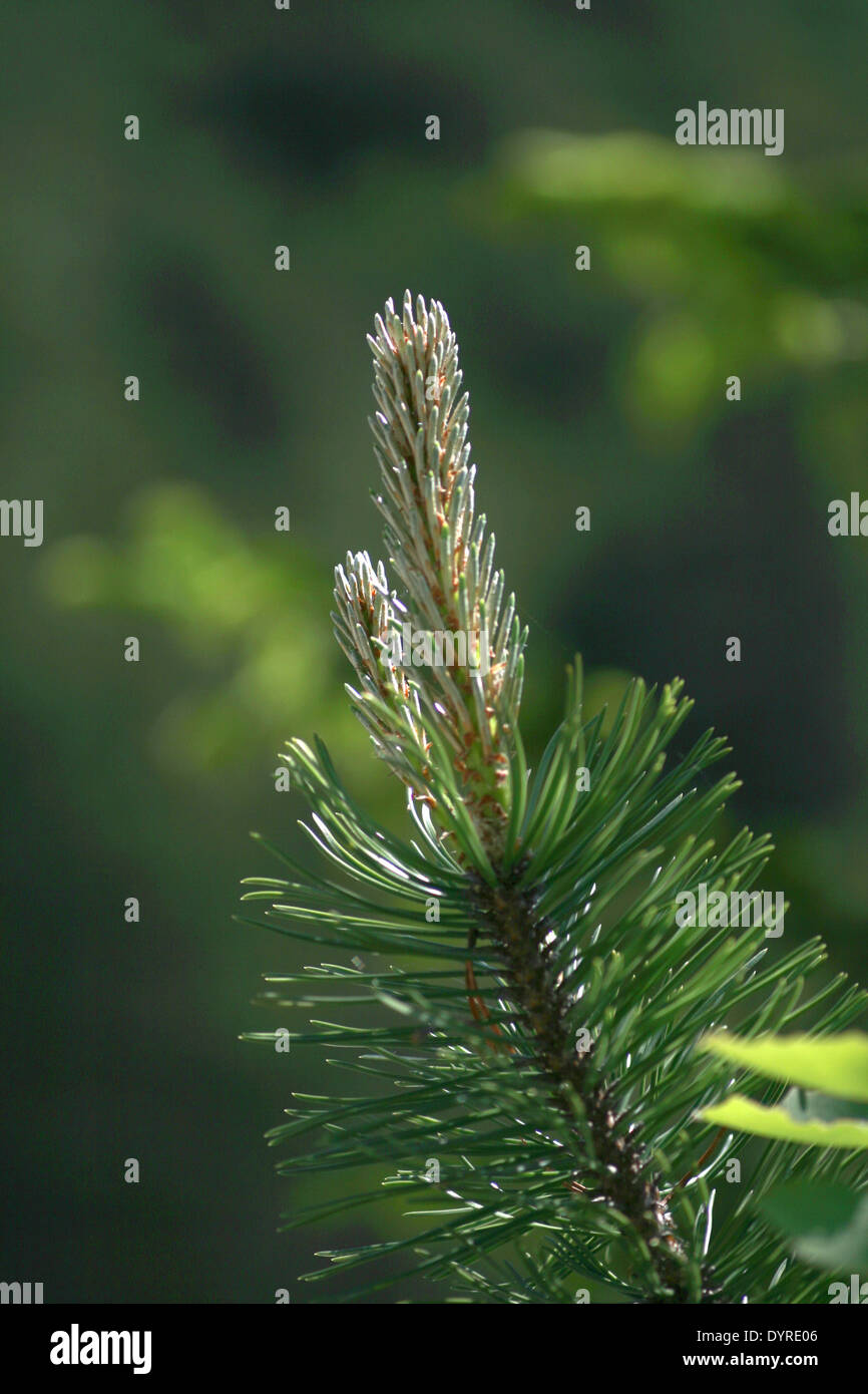 Desire of a conifer branch - Stock Image